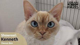 Cat Training: Kenneth (Devon Rex)