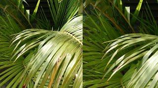 Beautiful Indoor plant areca palm की पूरी जानकारी,areca palm getting yellow!Water, Potting Mix,light