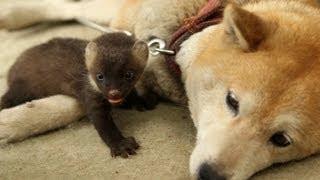種族を超えた母の愛情に涙!ひとりぼっちのテンの赤ちゃんを育てたのは一匹の柴犬でした