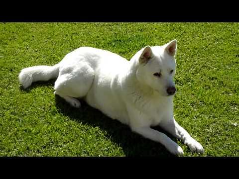Korean White Jindo - Guarding Posture [HD]