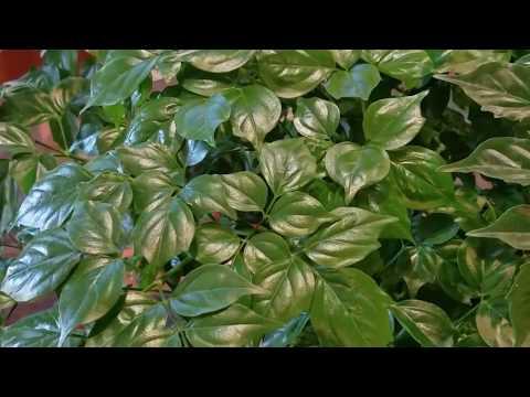 👩🏽🌾Turning Over A New Leaf I China Doll Ep. 1 I Radermachera Sinica