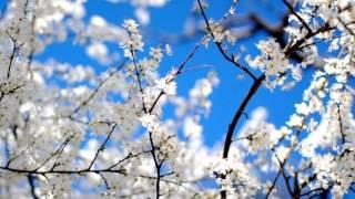 ВИШНЯ Застольные ретро-песни 60 г Наталия Муравьева Расцвела под окошком белоснежная вишня