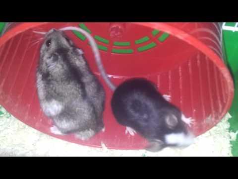 Mouse Vs Hamster