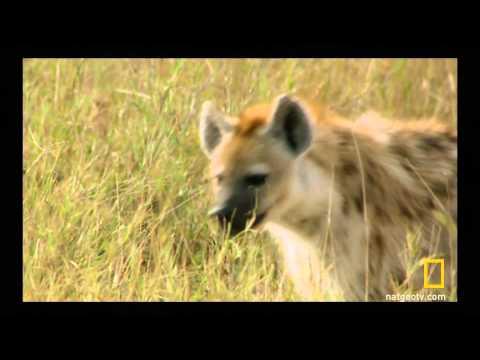 Een gevecht tussen leeuwen en hyena's.