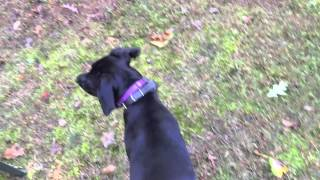 High Distraction Recall | 8 Month Old Lab | Atlanta Dog Trainer