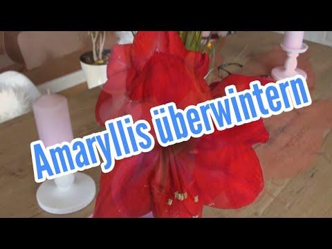 Amaryllis überwintern und wieder zum Blühen bringen