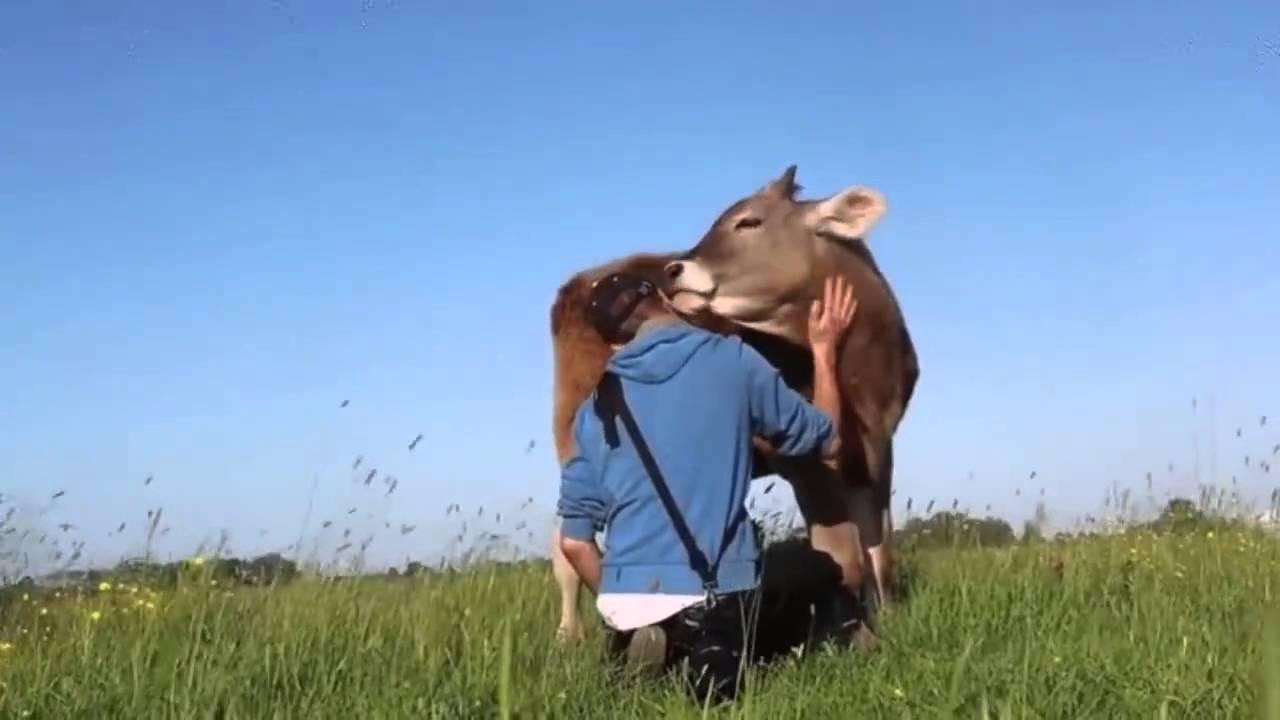 miért fogynak a tehenek