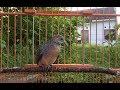 Masteran Kicau Burung Perkutut Lokal Burung Pikat Pasti Berhasil  Mp3 - Mp4 Download