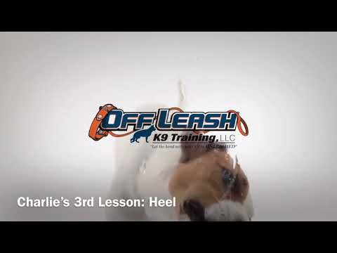 Charlie Heel Lesson Transformation l Dog Training Hampton Roads