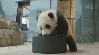 Giant Panda Cub Xiao Qi Ji vs. Giant Hockey Puck: Go Caps!