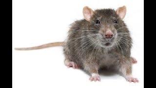 В это трудно поверить, черви и крысы генетические родственники человека. Сверхпособности грызунов...