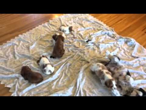 Denning Farms Cavalier puppies Playing!!