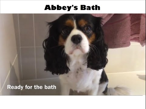 Abbey the King Charles Cavalier's bath