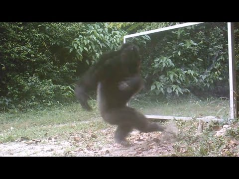 Chimps Attacks Mirror Reflections