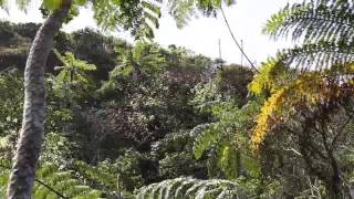 石垣島荒川の3の滝周辺の桜自生地