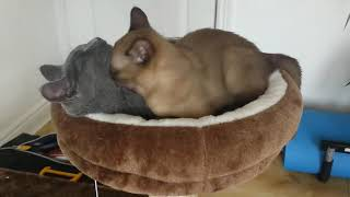 How Burmese cat conquered Russian Blue