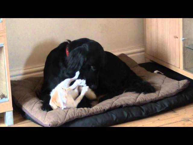 Phoenix Fennec Fox, play time with The Flatcoat Retriever