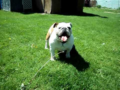 bulldog utube funny bulldog youtube 8374