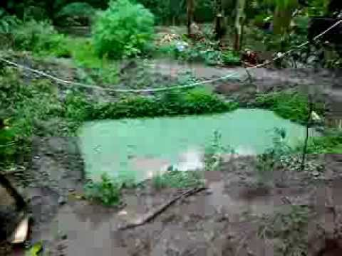 Backyard tilapia raising with azolla and malunggay - YouTube