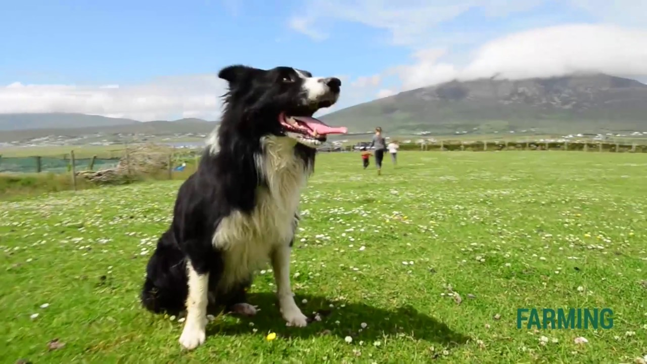 What Does it Take to Train a Good Sheep Dog?