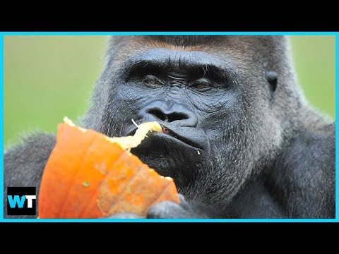 Koko, the Gorilla Who Knew Sign-Language, Dies at 46 | What's Trending Now!