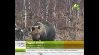 Медведи в городе. Из-за диких гостей страдают жители Ямала