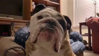 reuben-the-bulldog-bed-head