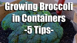 Growing Broccoli in Containers - 5 Easy Tips // Growing Your Fall Garden #9