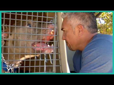 Taming a Raging Pitbull | Cesar Millan
