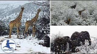 Giraffes Elephants Left Covered in Snow After Freak Blizzards Hit Africa
