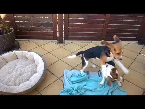 Beagle puppy and Jack Russell Terrier