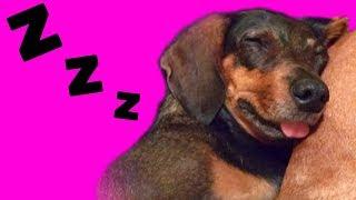 ВИДЯТ ли собаки СНЫ? ЧТО же СНИТСЯ нашим собакам? Вкусные косточки или призраки