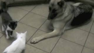 Flame 14 - How To Socialize A German Shepherd With Cats?