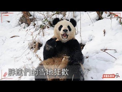 《熊貓TOP榜》第84期 胖達們的雪地狂歡 | IPanda