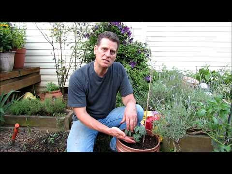 Simple Container Tomato Planting: Potting Mix, Container & Heat Tolerant Tomatoes - KIS Series (1)