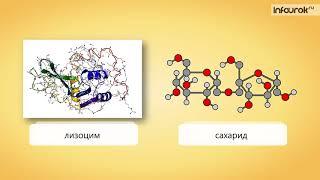 34  Ферменты и их роль в организме человека