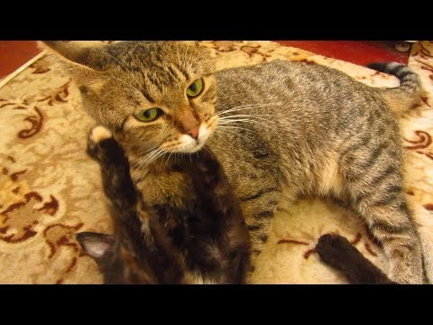 Striped cat plays with tortie kitten