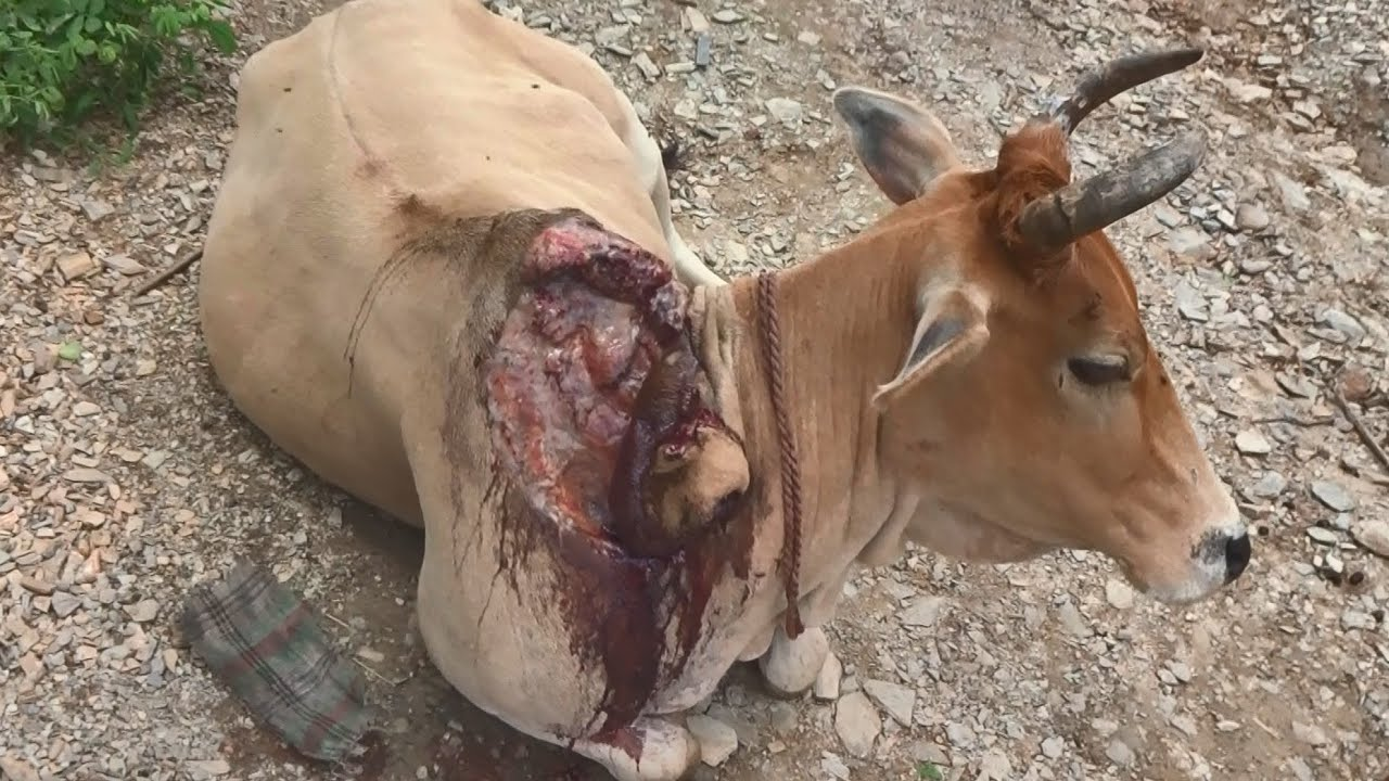 Download Healing a cow's huge wound after crocodile attack (graphic footage).