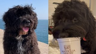 PORTUGUESE WATER DOGS 2021