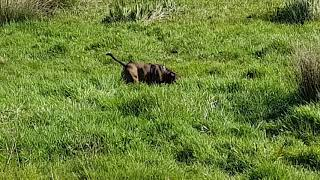 Staffordshire Bull Terrier off lead (2)