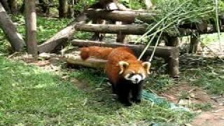 Red pandas in Chengdu, Sichuan, China #1