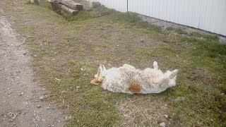 Пёс - реаниматор (Боготол,Dog-Reanimator).