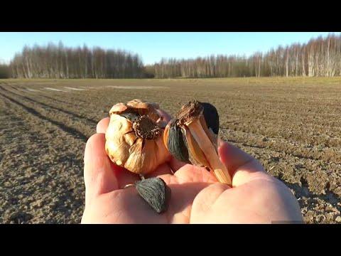 Мой опыт реализации и выращивания чеснока.