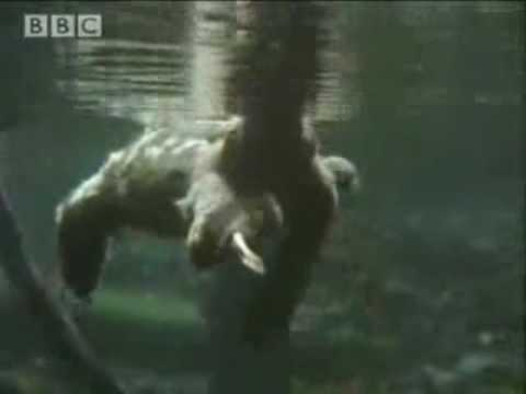 TIL that sloths can swim 3x faster than they can move on land and can hold their breath for up to 40 min