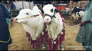 Most Heavy weight cows   cow Qurbani 2021#cow