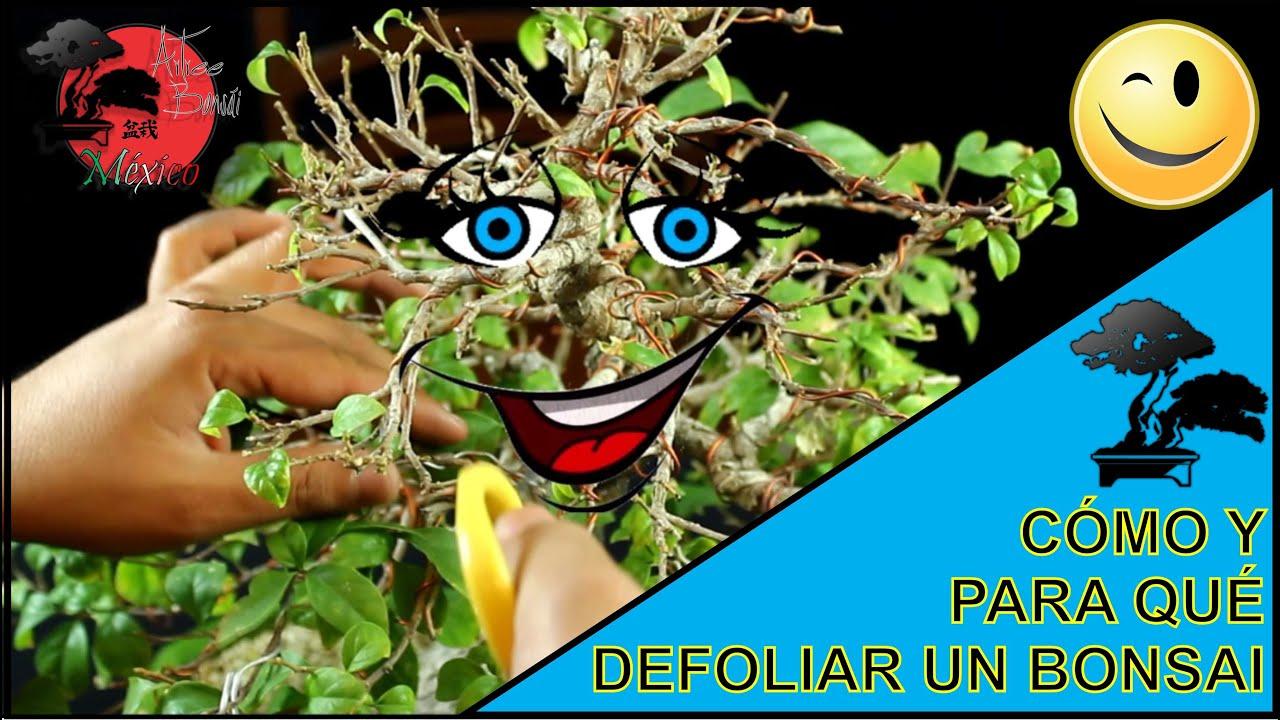 C mo y para qu defoliar un bonsai bugambilia youtube - Como cuidar un bonsai ...