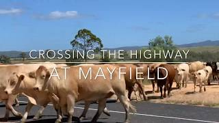 Grassfed Organic cows & calves crossing the Highway | Low Stress Stockhandling | Holistic Management