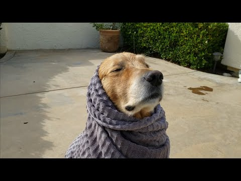 The Ace & TJ Show - Golden Retriever Reacts To Towel Wrap!`