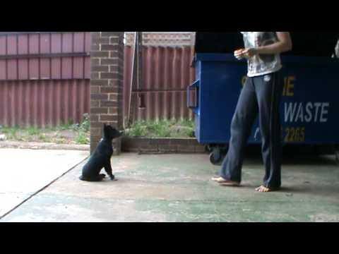 border collie kelpie puppy doing tricks