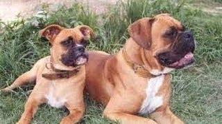 World Top Most Dangerous Dog Breeds